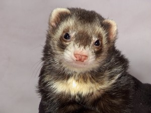 Ferret Shelter and Rescue
